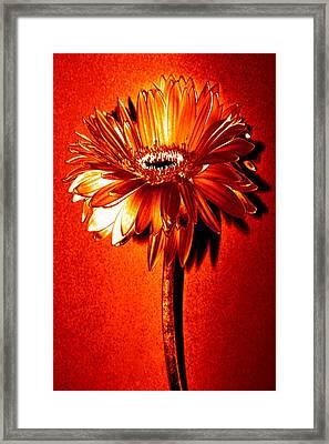 Tequila Sunrise Zinnia Framed Print by Sherry Allen