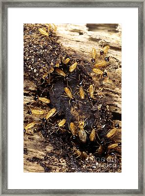 Termites Framed Print by Scott Camazine