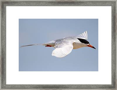 Tern Bird Framed Print by Diane Rada