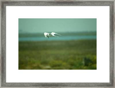 Framed Print featuring the photograph Tern In Flight by Bonnie Muir