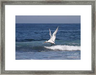 Tern In The Surf Framed Print by Ruth Jolly