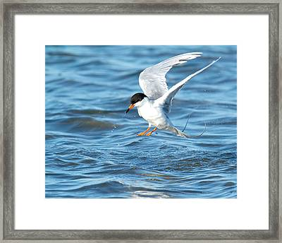 Forster's Tern Taking Flight Framed Print