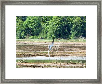 Tern Turn Framed Print by Gayle Swigart