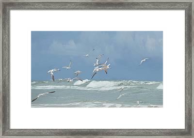 Terns In Flight Framed Print