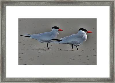 Terns In The Wind Framed Print by Helen Carson