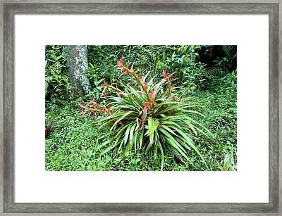 Terrestrial Bromeliad Framed Print