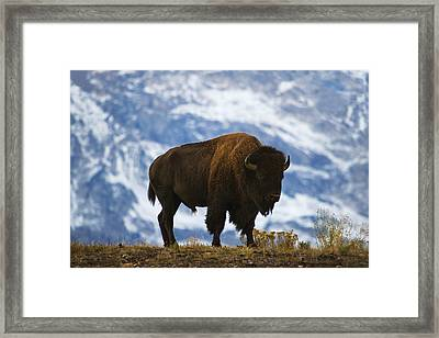 Teton Bison Framed Print by Mark Kiver