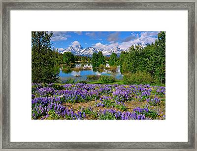 Teton Spring Lupines Framed Print by Greg Norrell