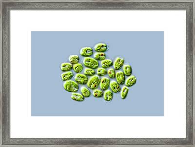 Tetraselmis Green Algae Framed Print