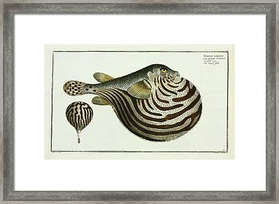 Tetrodon Lineatus (arothron Stellatus) Framed Print by Natural History Museum, London