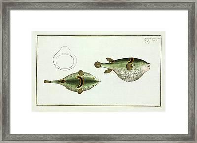 Tetrodon Ocellatus (takifugu Ocellatus) Framed Print by Natural History Museum, London