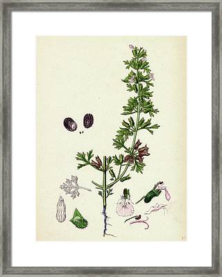 Teucrium Botrys Cut-leaved Germander Framed Print by English School
