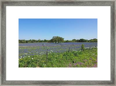 Texas Blue Bonnets Framed Print by Shawn Marlow