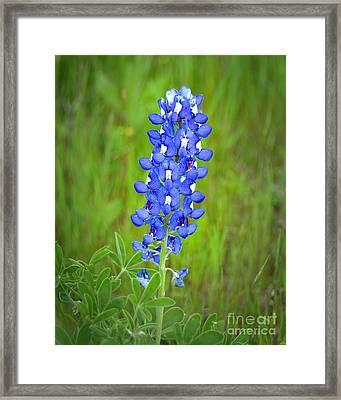 Texas Bluebonnet - Wildflowers Landscape Flowers Blue Bonnet Framed Print by Jon Holiday