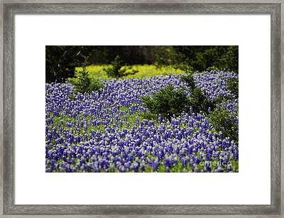 Texas Bluebonnets 1 Framed Print by Richard Mason