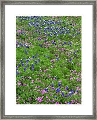 Texas Bluebonnets And Pointed Phlox Framed Print