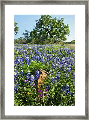 Texas Bluebonnets (lupinus Texensis Framed Print by Larry Ditto