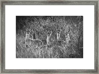 Texas Deer Framed Print