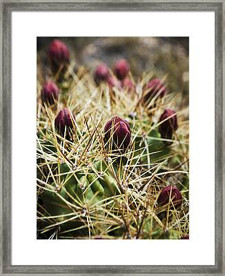 Texas Blooming Cactus Framed Print