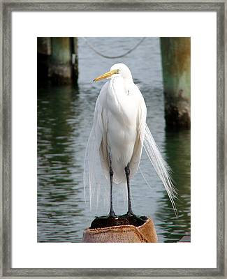 Framed Print featuring the photograph Texas Great White Egret by Linda Cox