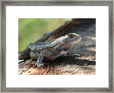 Framed Print featuring the photograph Texas Lizard by John Johnson