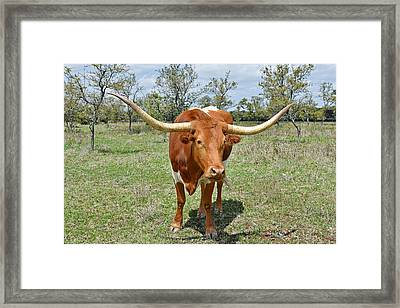 Texas Longhorn Framed Print by Christine Till