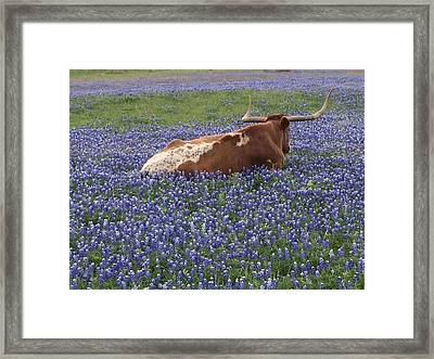 Texas Longhorn In Bluebonnets Framed Print by Colleen Dyer