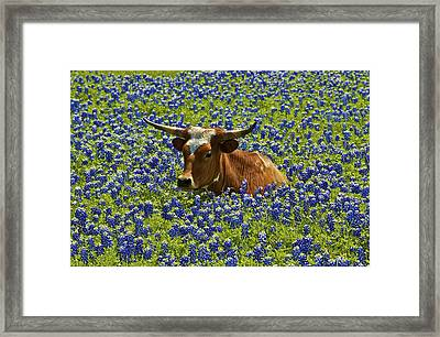 Framed Print featuring the photograph Texas Longhorn  by John Babis