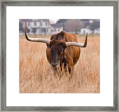 Texas Longhorn Framed Print by Louise Heusinkveld