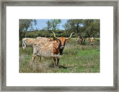 Texas Longhorns Framed Print by Christine Till