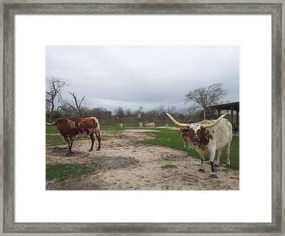 Texas Longhorns Framed Print by Shawn Marlow