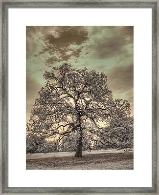 Texas Oak Tree Framed Print
