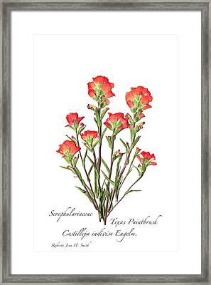 Texas Paintbrush 2 Framed Print
