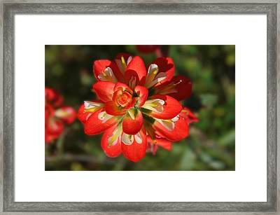 Texas Paintbrush Framed Print