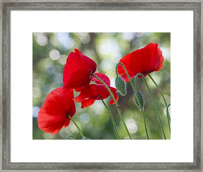 Texas Poppies Framed Print by April Nowling