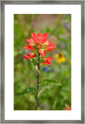Texas Red Indian Paintbrush Framed Print by Lynn Bauer