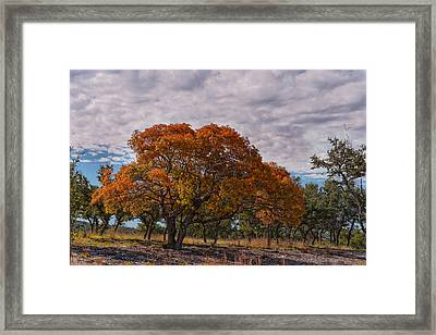 Texas Red Oak On Fire In The Hill Country - Fall Foliage Season In Central Texas Framed Print by Silvio Ligutti