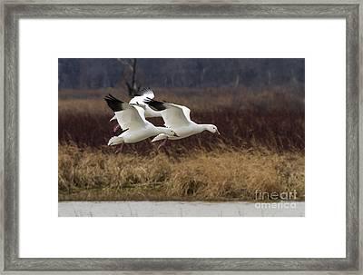 Texas Snow Geese Framed Print