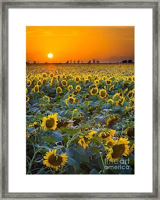 Texas Sunflowers Framed Print by Inge Johnsson
