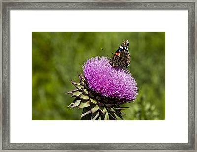 Texas Thistle And Butterfly Framed Print