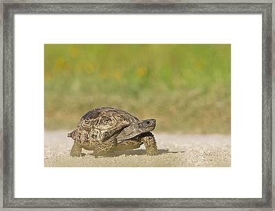 Texas Tortoise (gopherus Berlandieri Framed Print