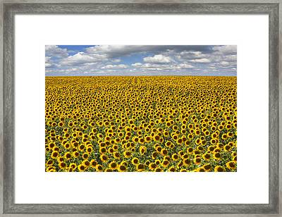 Texas Wildflower Images - June Sunflower Fields 8 Framed Print by Rob Greebon