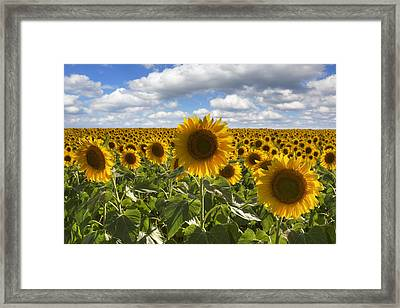 Texas Wildflower Images - Summer Sunflowers 9 Framed Print