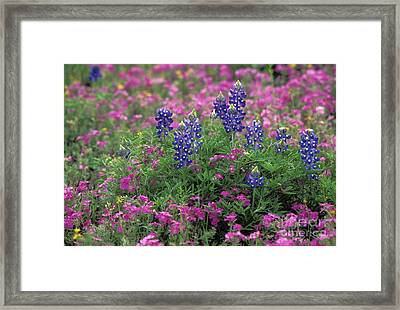 Texas Wildflowers 3 - Fs000930 Framed Print
