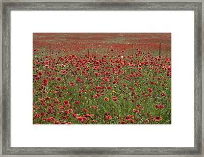 Texas Wildflowers Indian Blankets In The Texas Hill Country Framed Print