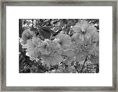 Framed Print featuring the photograph Textured Black And White Cherry Blossoms by Gena Weiser