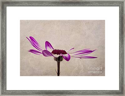 Texturised Senetti Pericallis Framed Print by John Edwards