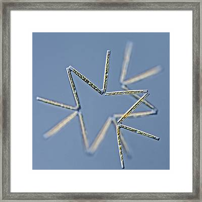 Thalassionema Diatom Framed Print by Gerd Guenther
