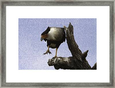 That Caracara Stare Framed Print