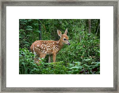 The Adorable Fawn Framed Print